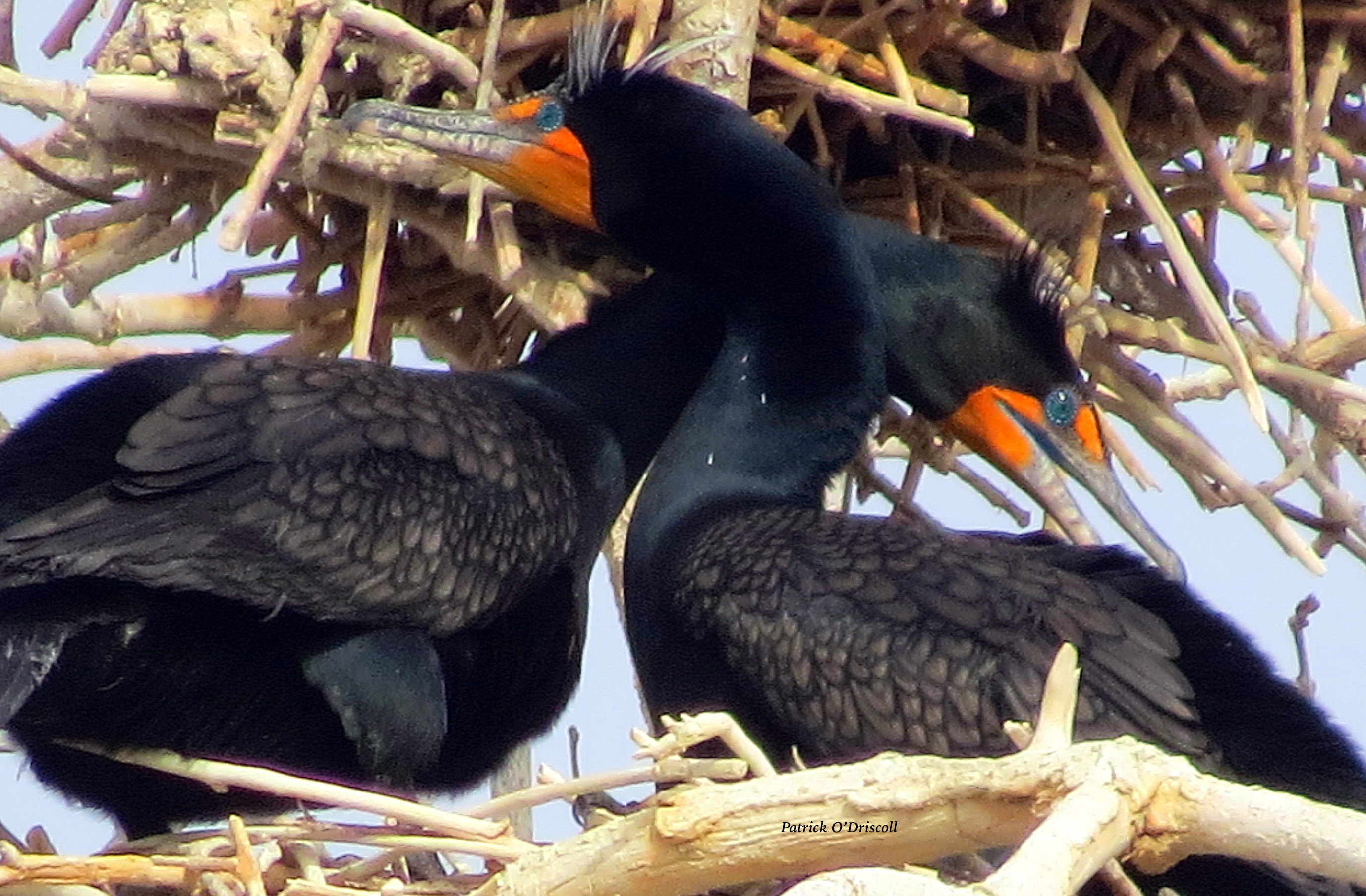Double-crested Cormorant pair at nest.