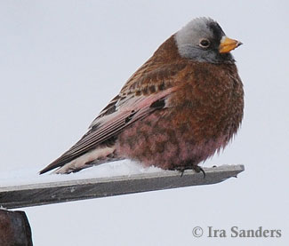 Gray-crowned Rosy-Finch (Hepburn's) photo by Ira Sanders